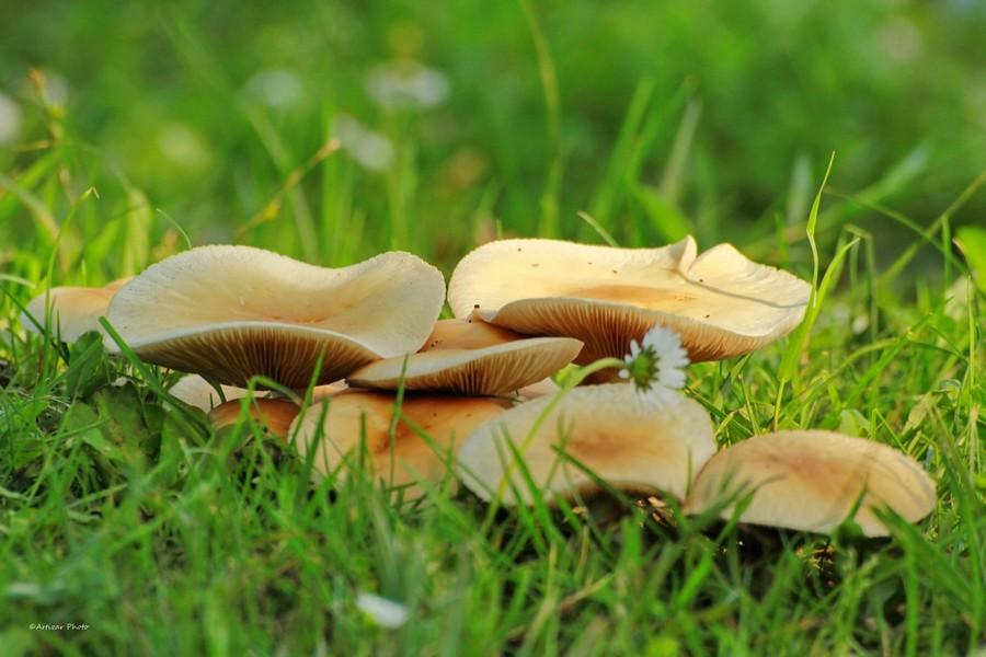 champignons 1805